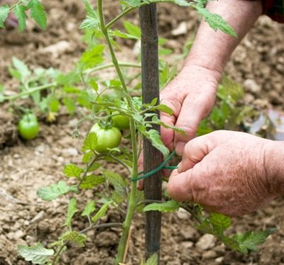 Best Way to Stake Tomatoes