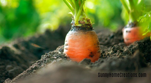 carrots planted in the ground