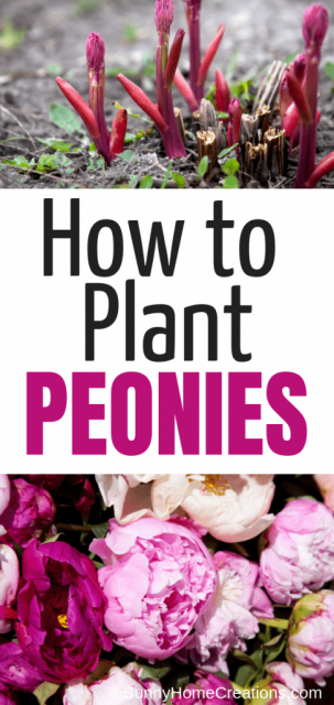 Best tips for planting peonies