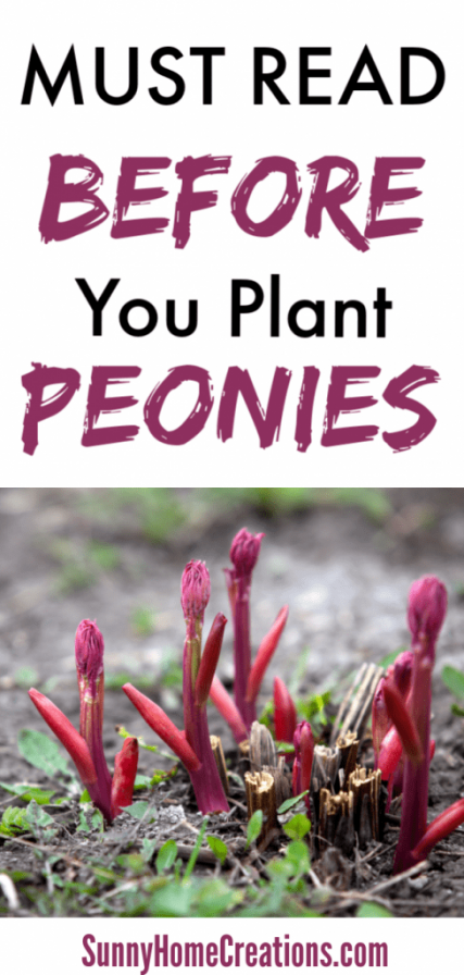 Must read before you plant your peonies