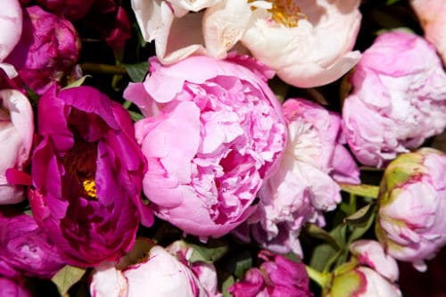 Best time to plant peonies