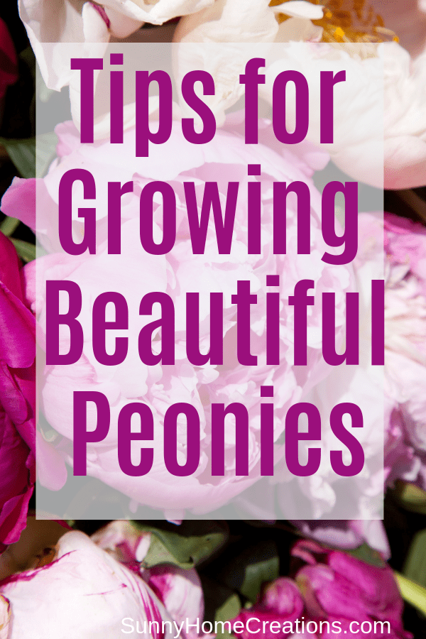 Tips for growing beautiful peonies