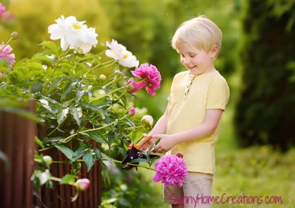 Pruning Your Peonies