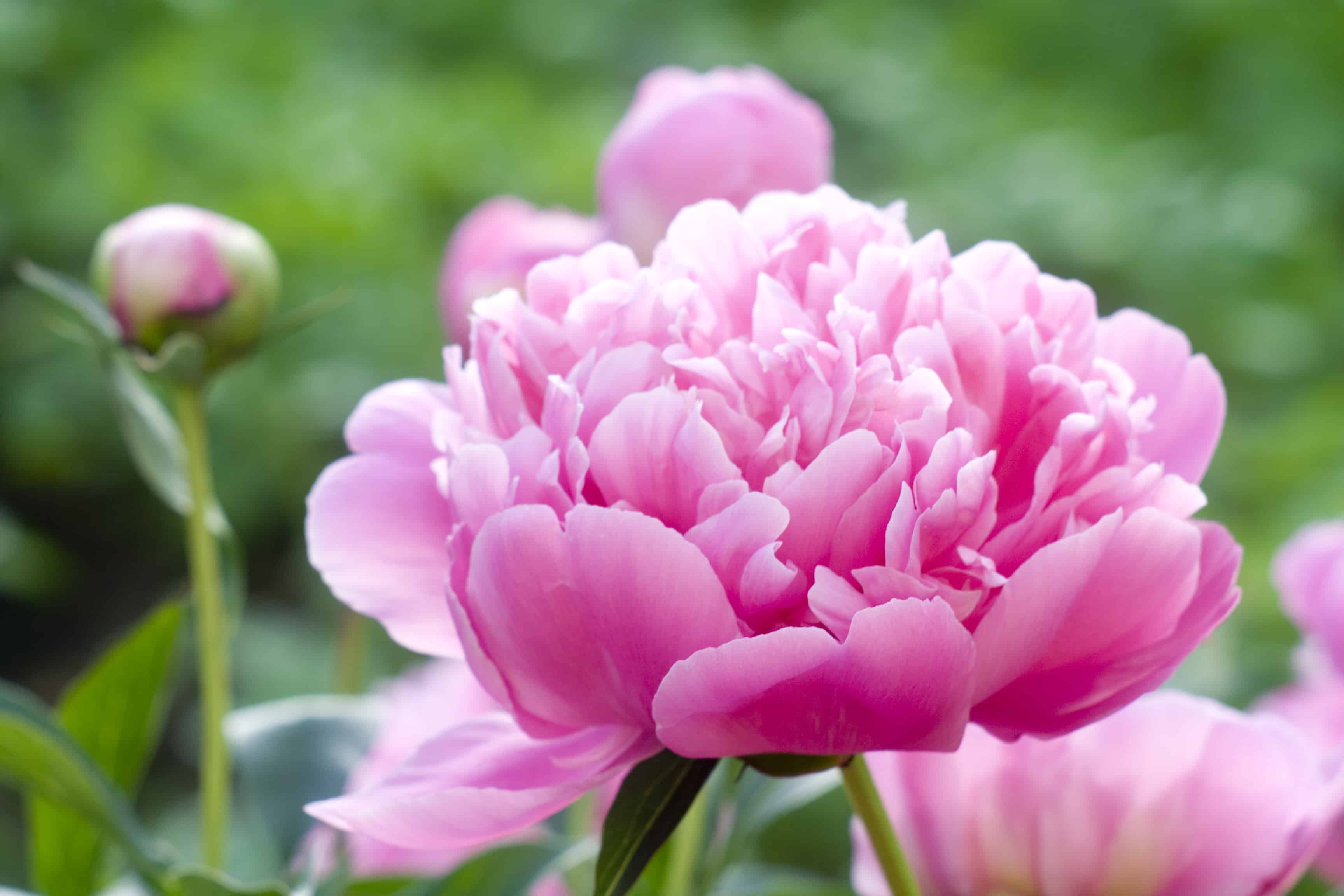When to plant peonies