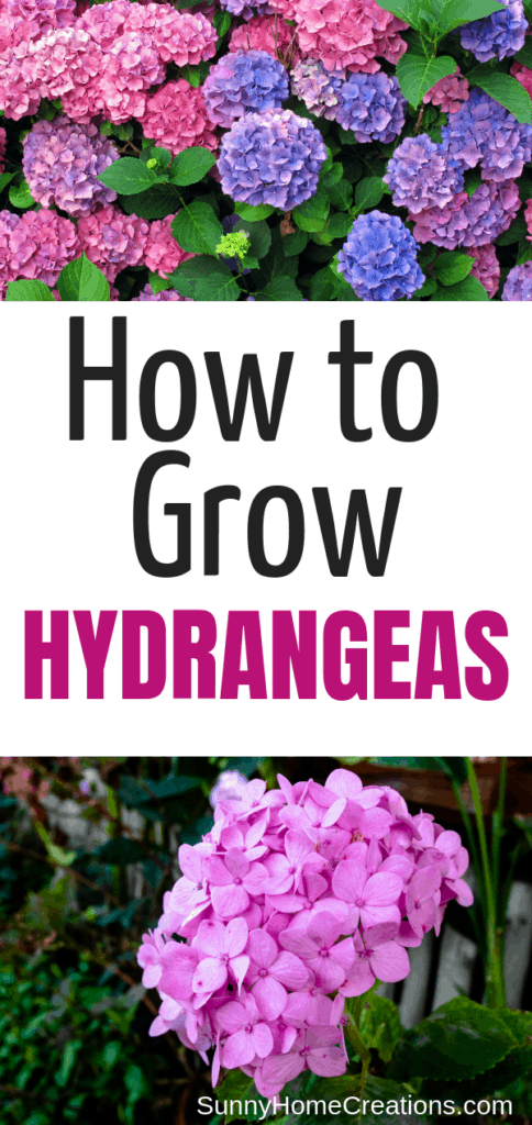 How to grow hydrangeas - care and tips