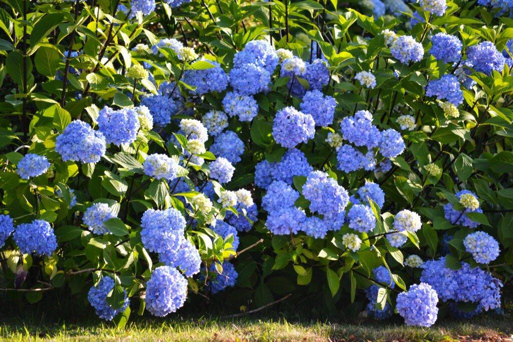 hydrangea blue bush