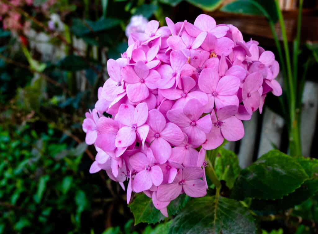 pink hydrangea from a flower garden