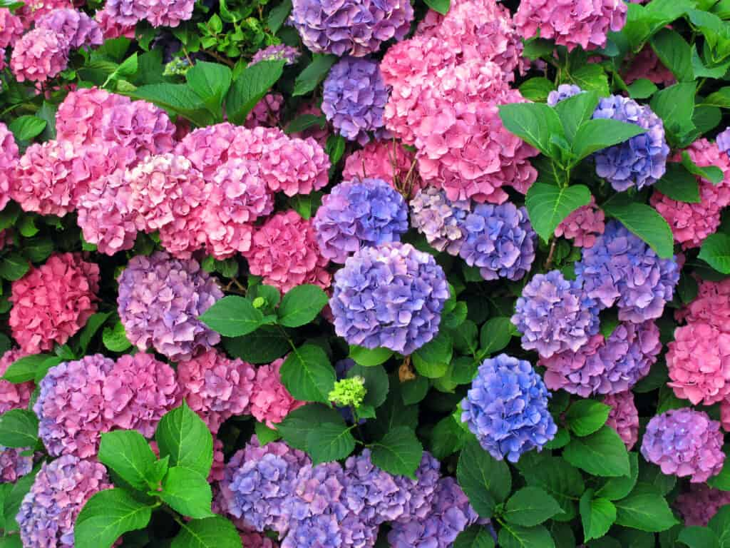 pink, blue and purple hydrangeas on one bush