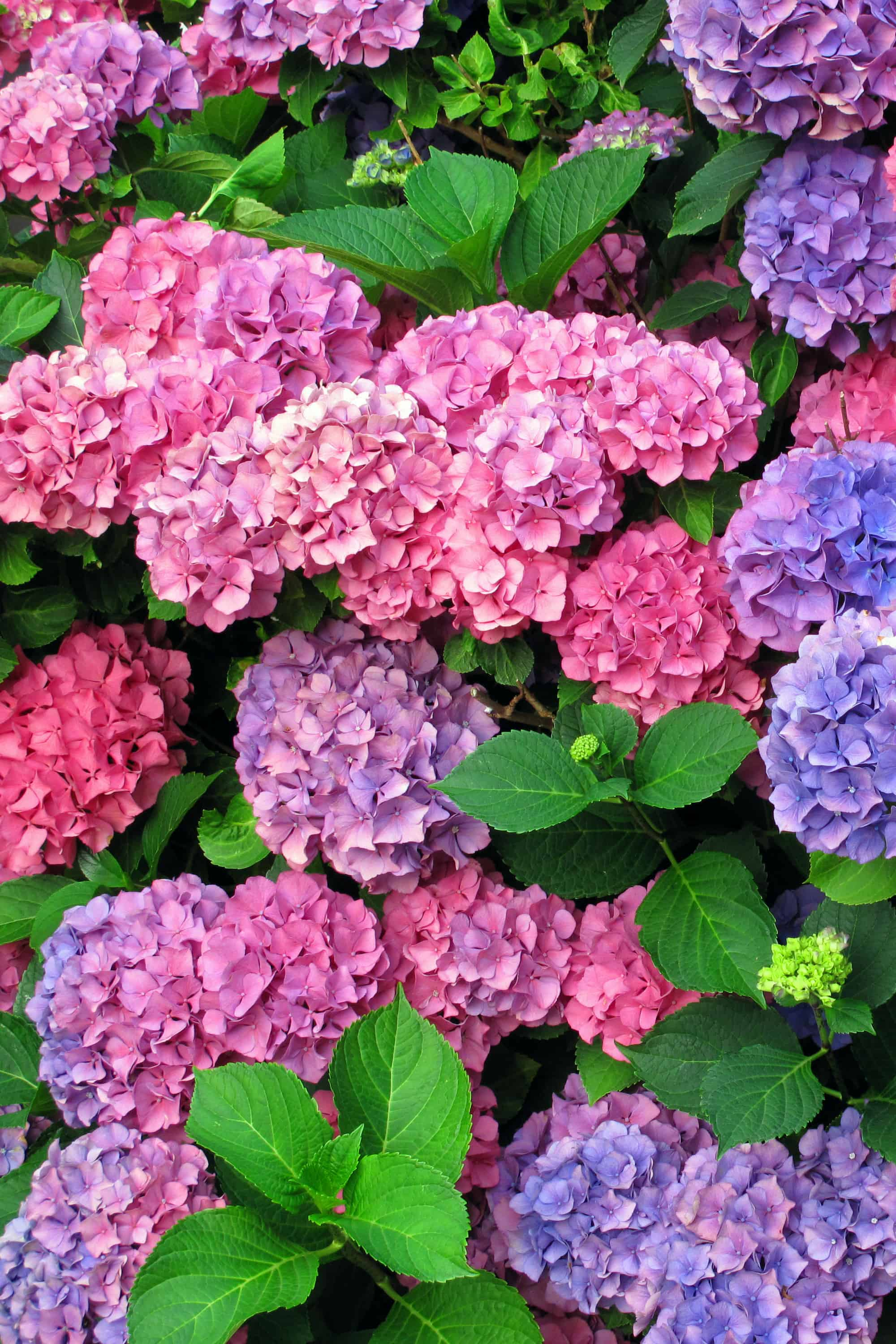Hydrangea Care and Growing Tips - Sunny Home Creations
