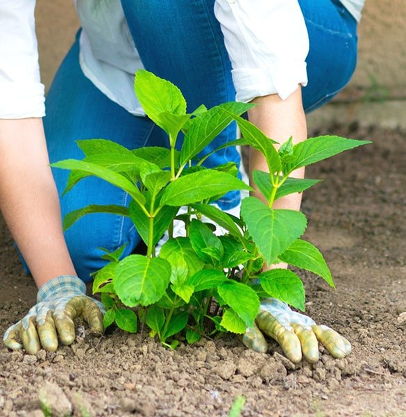 woman planting hydrangea plant
