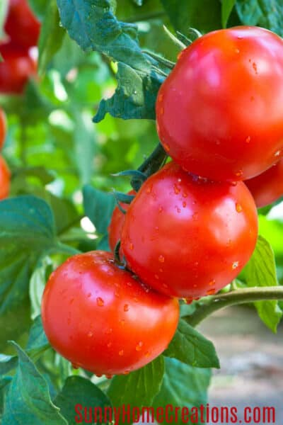 7 tips for growing big healthy tomatoes