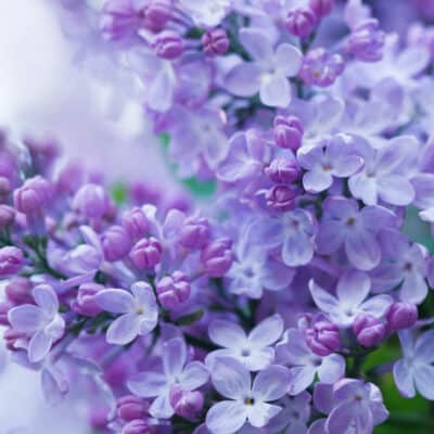 How to grow beautiful lilacs easily