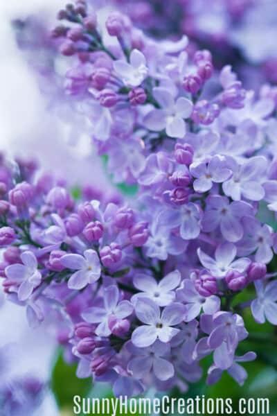 How to grow beautiful lilacs easily