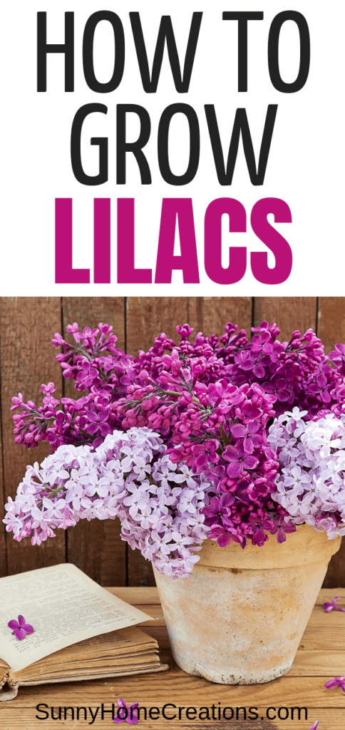 Growing Beautiful Lilacs