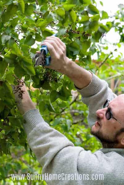 Pruning a Lilac Bush