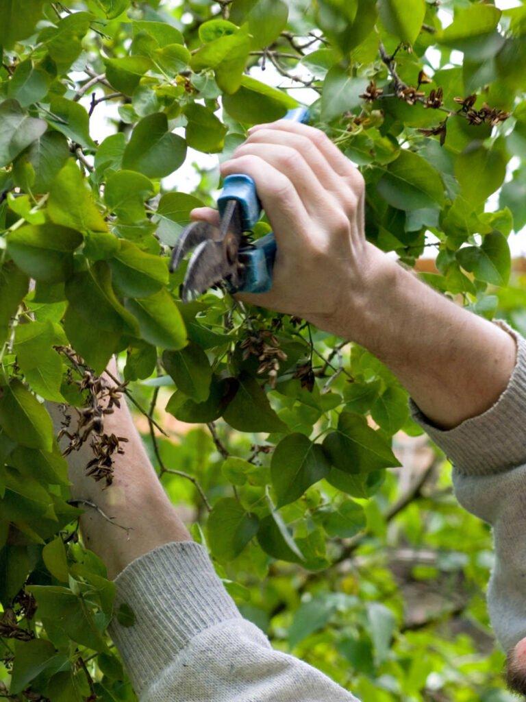 Die Arme einer Person schneiden einen lila Busch