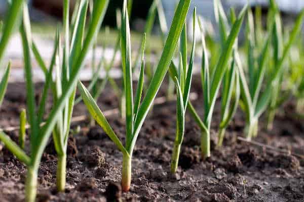 Garlic growing in a salsa garden
