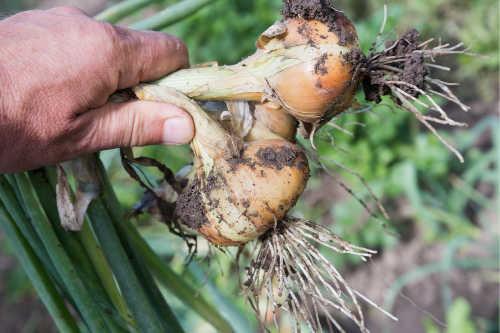 Fresh dug onions