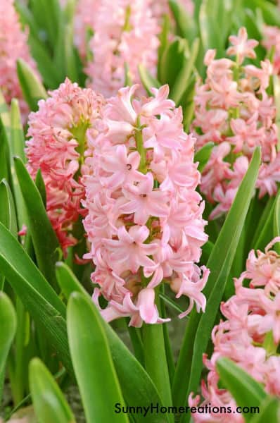 Best Smelling Flower - Pink Hyacinth