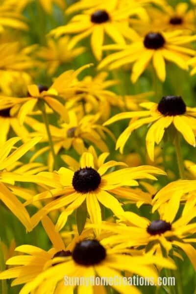 Sun Loving Perennials