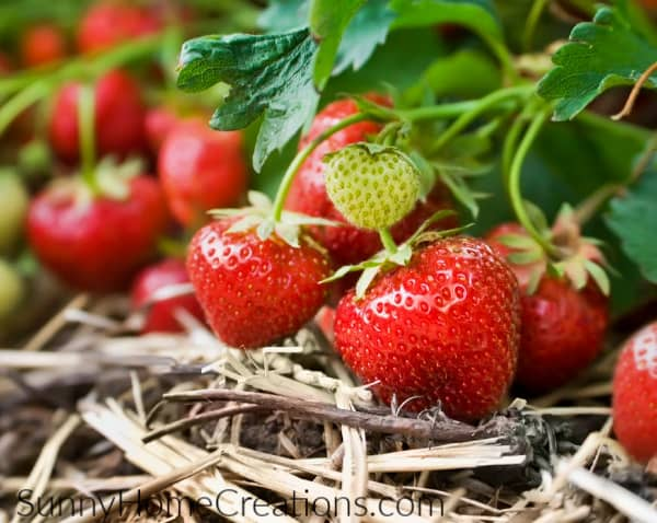 Strawberries with mulch around them