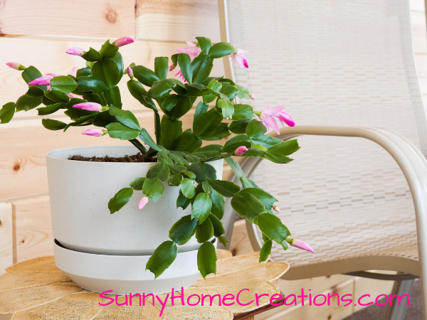 Christmas Cactus with small pink buds on it