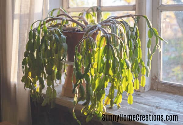 Christmas Cactus Problems