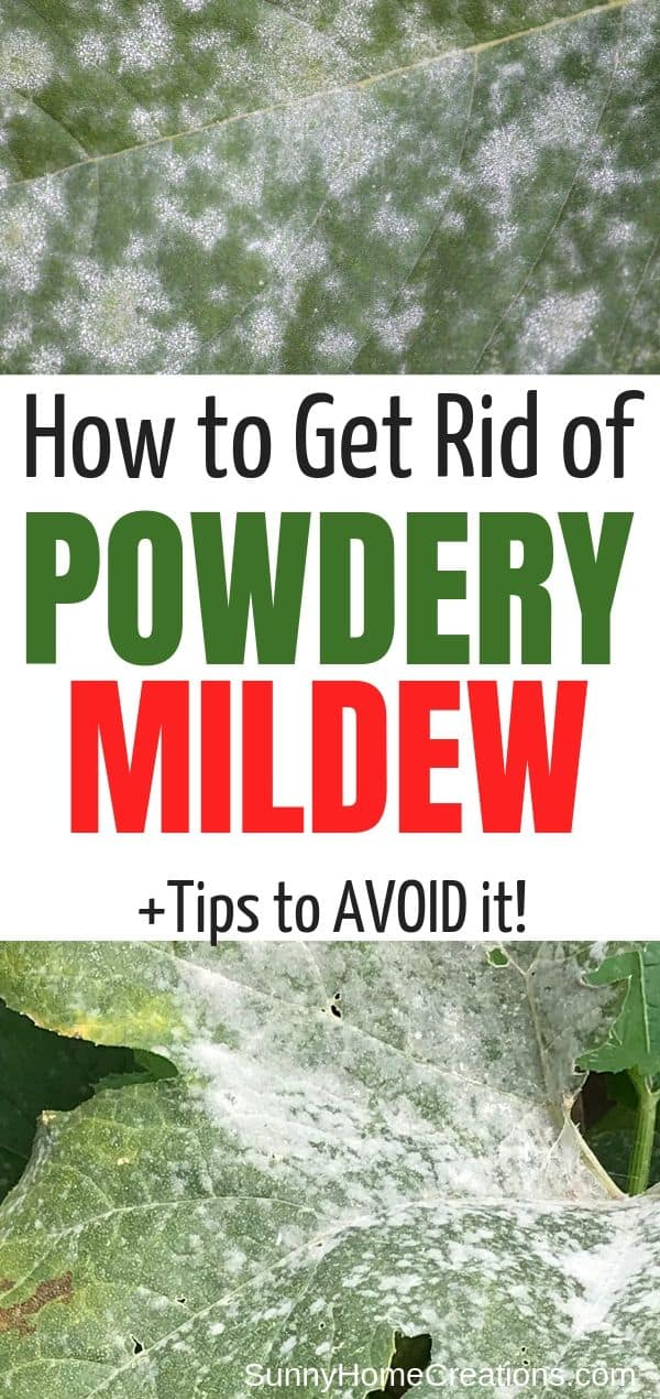 how to treat and prevent powdery mildew pin