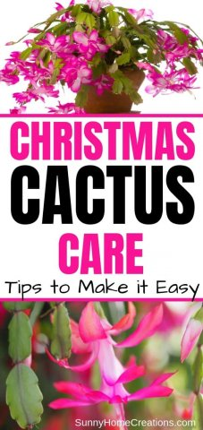 How to Grow a Christmas Cactus Pin