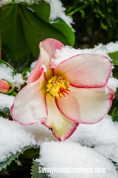 Hellebore in Winter