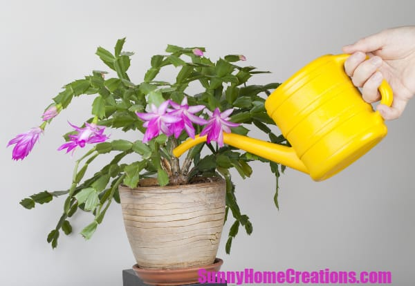 Watering a Christmas Cactus