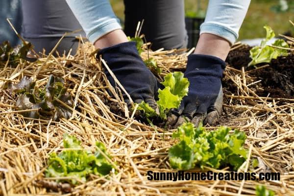 Mulching Lettuce