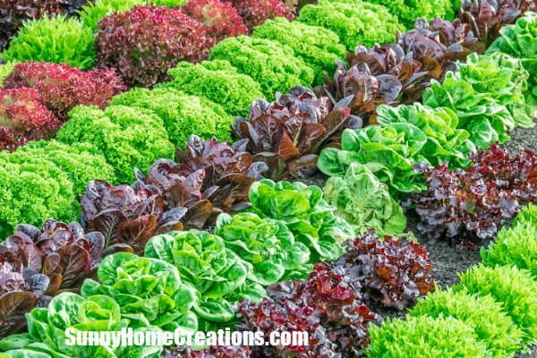 Winter Lettuce Varieties