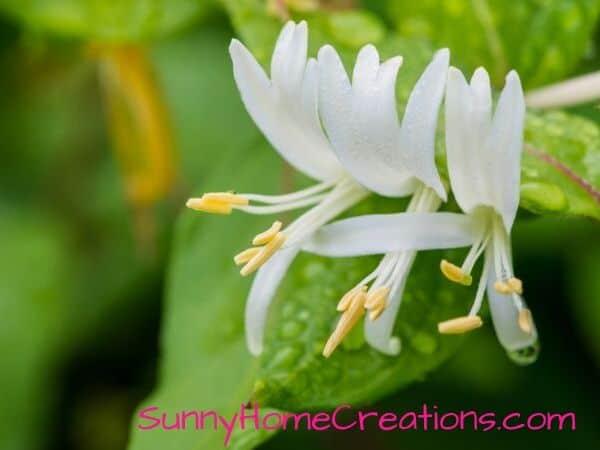 winter honeysuckle white flower