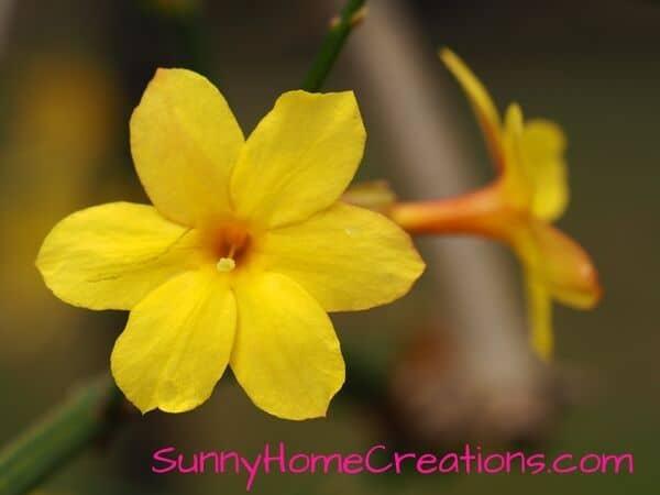 Winter Jasmine Yellow Flowr